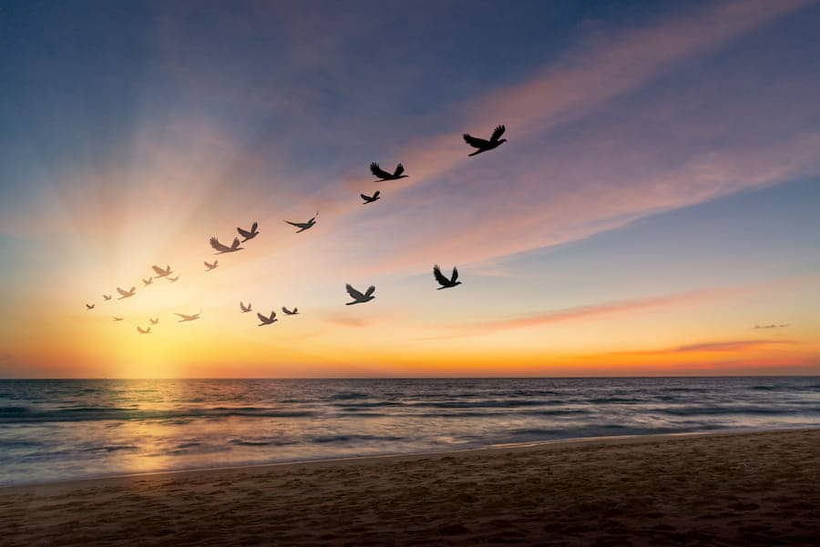 flock of birds flying over the sea at sunset